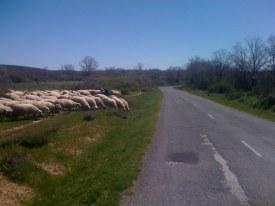 Sheep Sheep!!